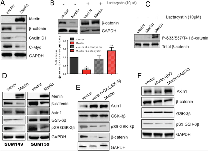 Merlin increases GSK-3β-mediated upregulation of Axin1 protein levels leading to proteasomal degradation of β-catenin protein.
