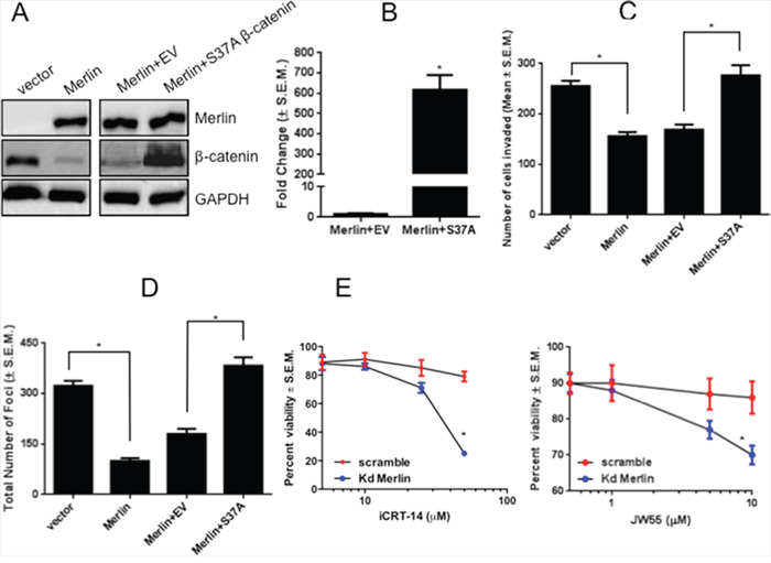 Expression of a degradation-resistant β-catenin mutant rescues malignant activity of breast cancer cells in presence of Merlin.