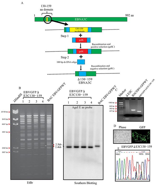 Generation of the recombinant viruses EBVGFPΔE3C130-159.