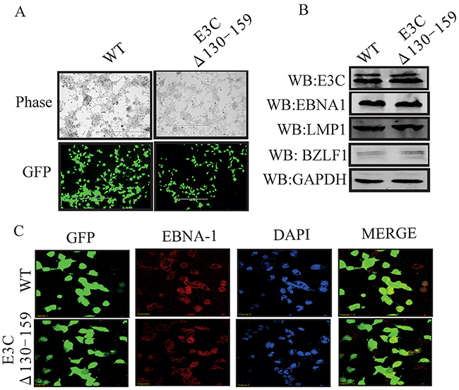 Characterization of EBVGFPΔE3C130-159 stable 293T cell lines.