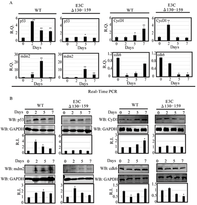 Analysis of mRNA and protein levels for p53, Mdm2, CyclinD1 and Cdk6 during EBV primary infection at 2, 5, and 7 dpi.