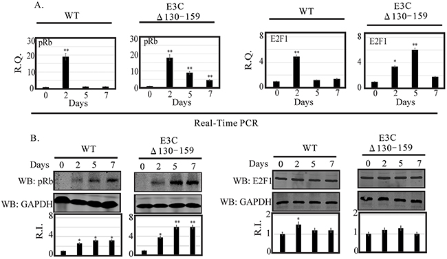 Analysis of mRNA and protein levels for pRb and E2F1 during EBV primary infection at 2, 5, and 7 dpi.