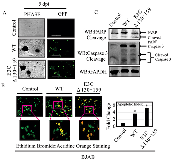 EBVGFPΔE3C130-159 virus infected cells can enhance induction of apoptosis.