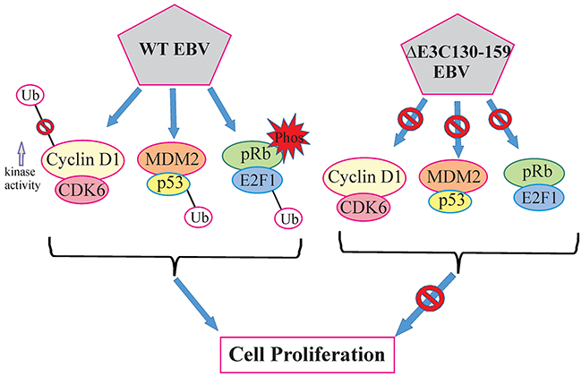 A model for EBNA3C residues 130-159 of EBV in B-cell proliferation.