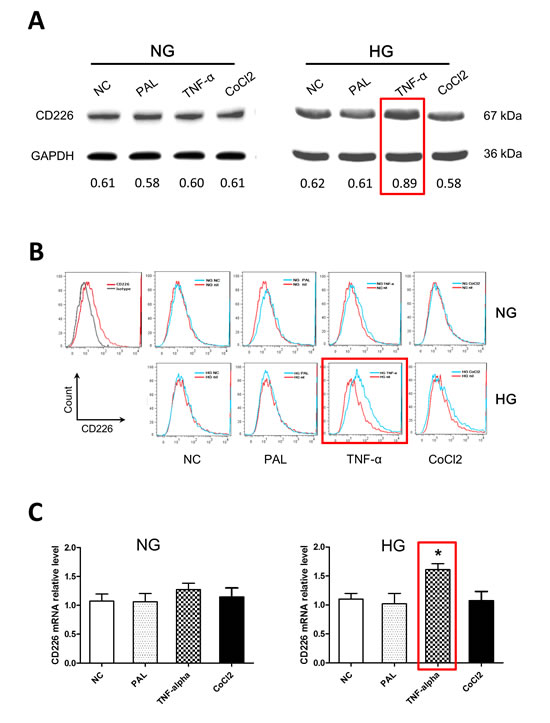 High glucose and TNF-α treatment increased CD226 expression in HUVECs.