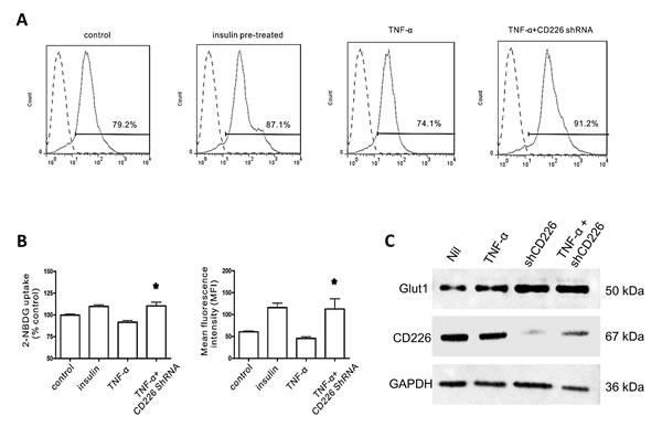 Effect of CD226 on 2-NBDG uptake in HUVECs.