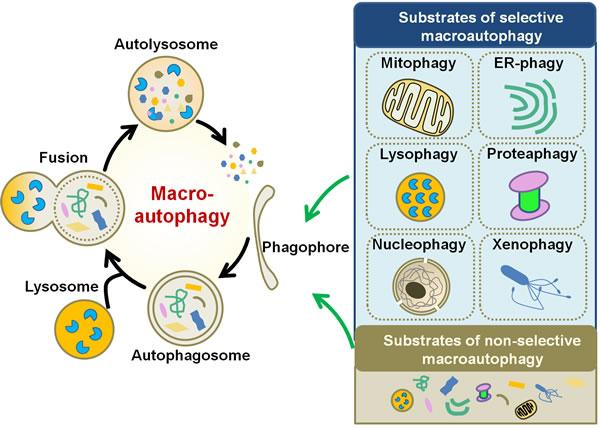 Schematic diagram of macroautophagy.