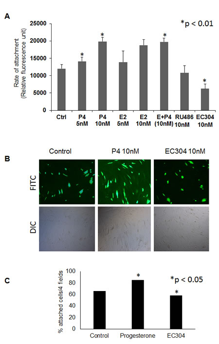 EC304 reduced endometrial epithelial cell attachment to peritoneal mesothelium