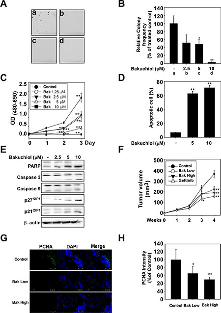 Bakuchiol suppresses growth of A431 xenograft tumors in nude mice.