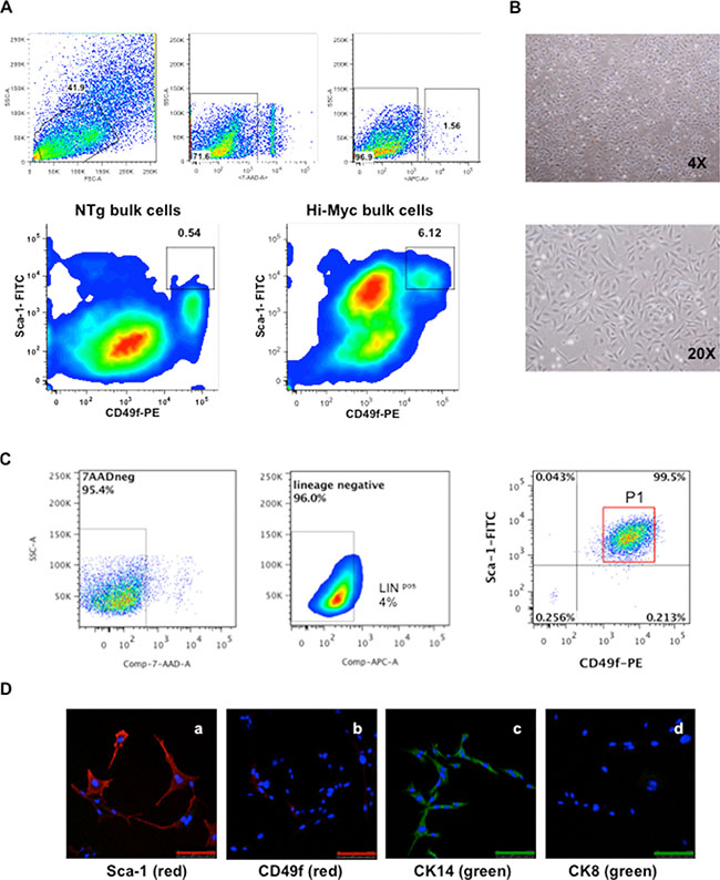 Isolation and characterization of HMVP2 cells.