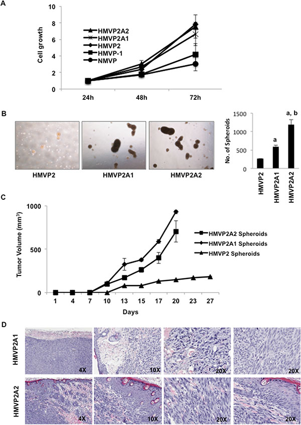 Further characterization of HMVP2A1 and HMVP2A2 cells.