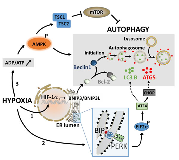 The major pathways involved in the activation of autophagy under hypoxic stress.