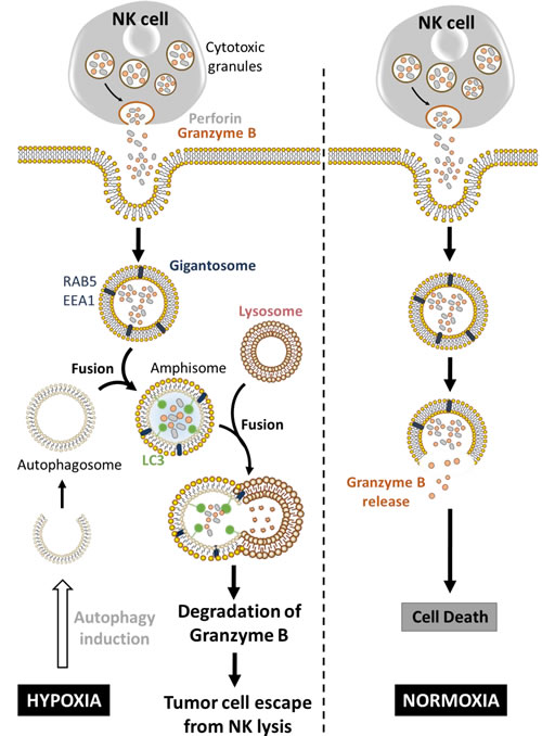 Hypoxia-induced autophagy degrades NK-derived granzyme B and impairs NK-mediated killing.