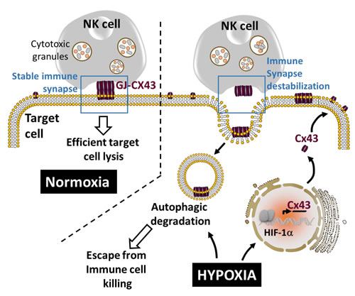 Autophagy destabilizes the immune synapse by controlling the hypoxia-dependent expression of gap-junctional connexin 43.