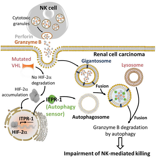 HIF-2α induces the expression of the autophagy sensor ITPR1 leading to the impairment of NK-mediated renal cell carcinoma killing.