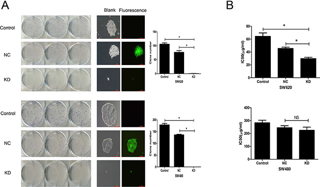 Effect of ZFX knockdown on CRC cell colony formation and sensitivity to 5-Fu.