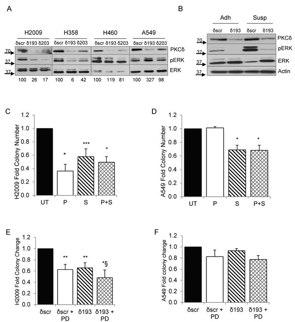 ERK activation is regulated PKCδ and integrin α