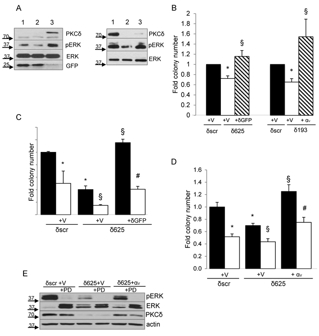 PKCδ regulation of transformed growth requires integrin α