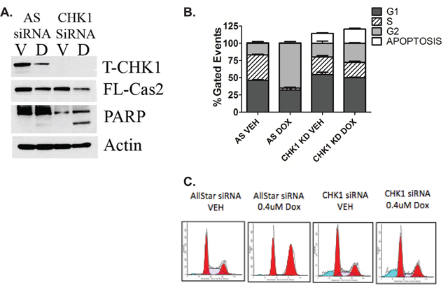 The CS-pathway can be activated in wild type p53 cells.