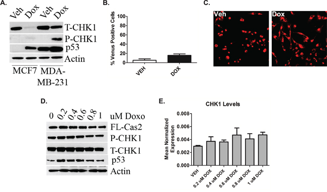 P53 deficiency triggers deregulation of the CHK1-caspase-2 pathway.
