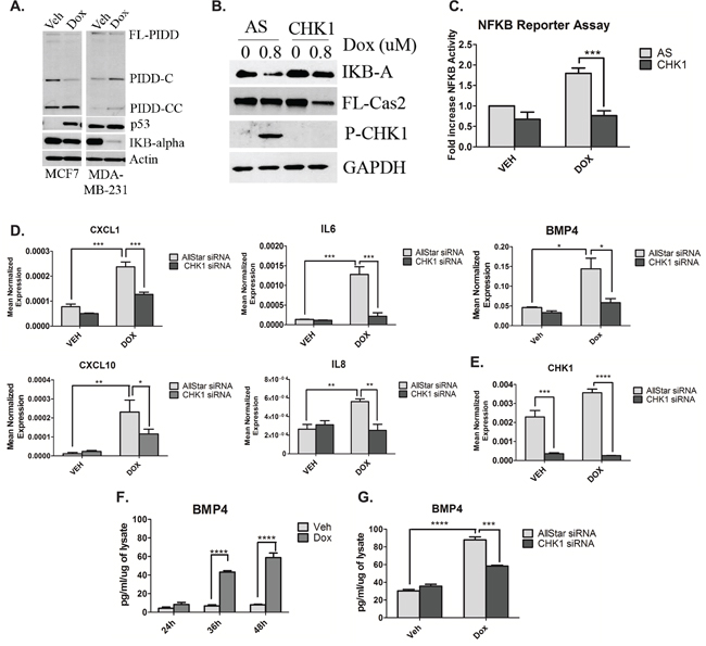 CHK1 levels regulate NF-κB signaling in p53-deficient cells in response to doxorubicin.