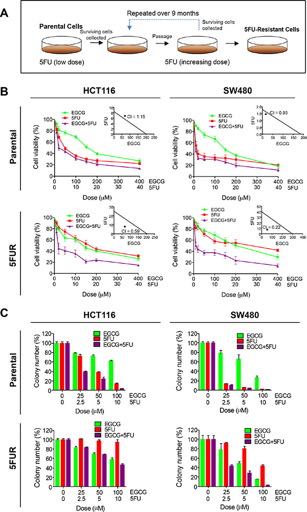 EGCG enhances 5FU sensitivity in 5FU resistant colorectal cancer cells.