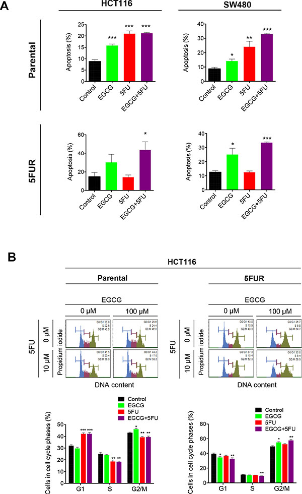 EGCG induces apoptosis and cell cycle arrest in 5FU resistant colorectal cancer cells.