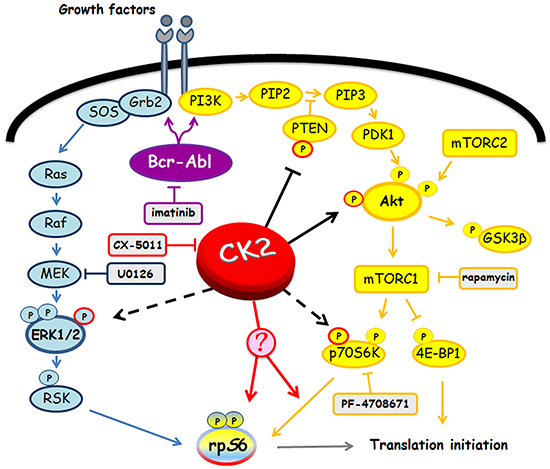 Involvement of Bcr-Abl and CK2 in MEK/ERK1/2 and PI3K/Akt/mTOR/p70S6K pathways.