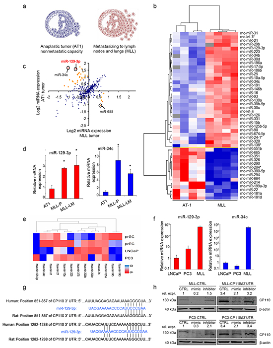 miR-129-3p is overexpressed in metastatic PCa.