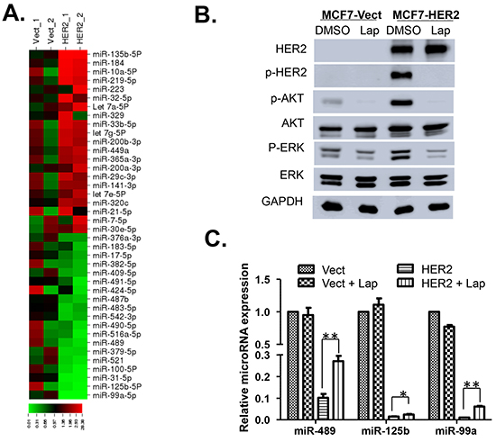 Screening of miRNAs differentially expressed in MCF7 Vector and HER2 cells.
