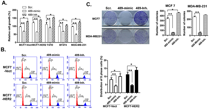 Overexpression of miR-489 in breast cancer cells inhibits cell proliferation.