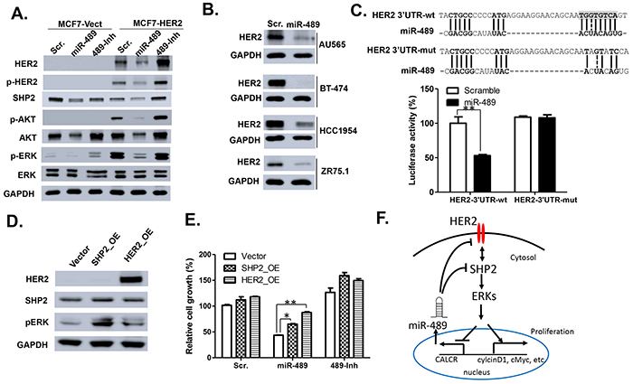 miR-489 targets HER2 signaling pathway by directly binding the 3' UTR of HER2.