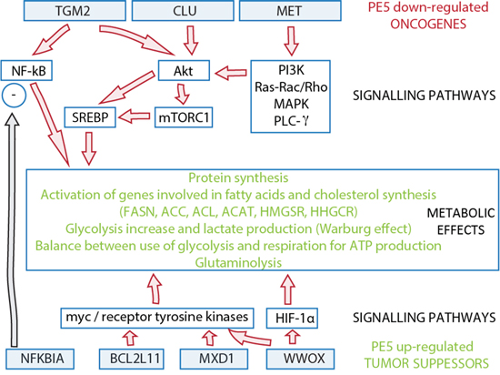 Potential links between PE5 down-regulated oncogenes and up-regulated tumor suppressors and deregulated metabolic pathways through signaling pathways.