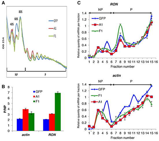 The cytoplasmic mutant of hnRNP A1 increases RON mRNA translation.