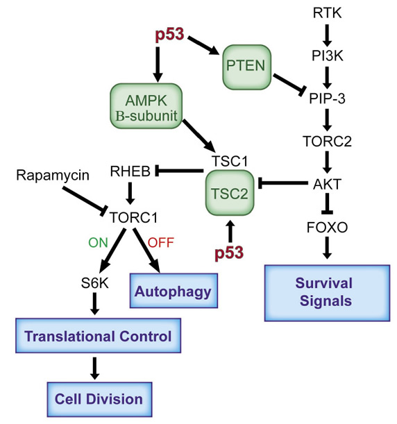 The antagonistic relationship between the p53 and the IGF-1/mTor pathways.