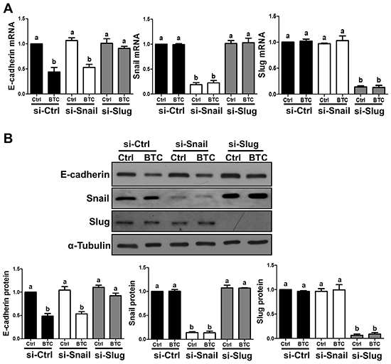 Betacellulin suppresses E-cadherin via Slug in ovarian cancer cells.