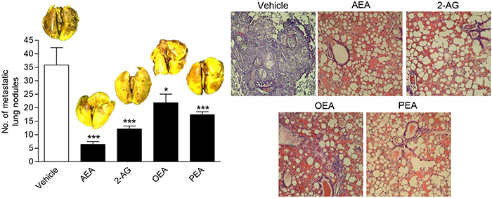 Impact of FAAH substrates on lung metastasis in nude mice.