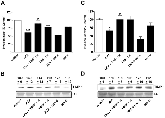 Effect of TIMP-1 knockdown on the anti-invasive and TIMP-1-upregulating action of AEA and OEA in A549 cells.