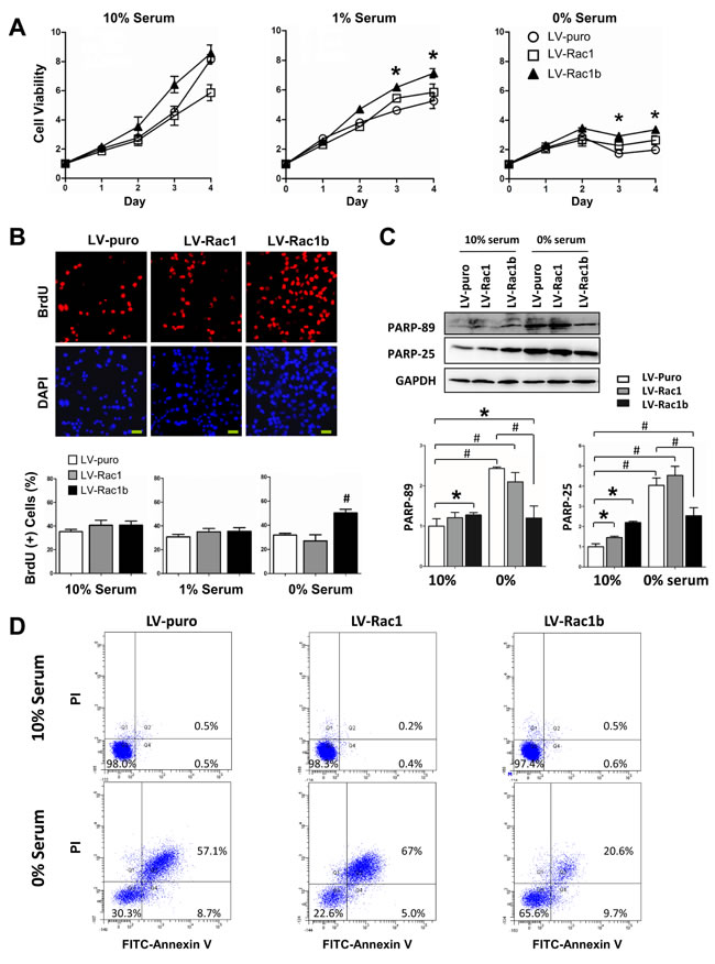 Rac1b promotes cell viability and cell cycle progression, and inhibits apoptosis.