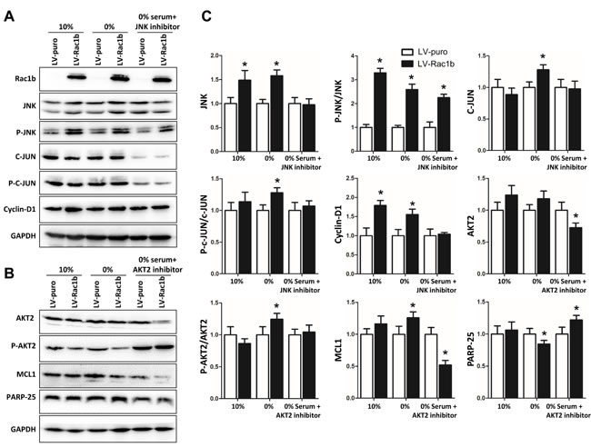 Rac1b upregulates and activates the JNK/c-JUN/cyclin-D1 and AKT2/MCL1 pathways in SW480 cells.