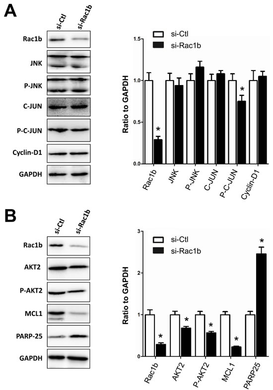 Rac1b upregulates and activates the AKT2-MCL1 pathway in HT29 cells.