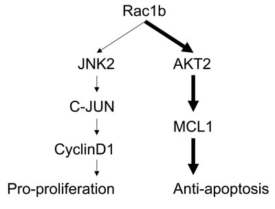 Schematic summary of Rac1b-mediated signaling in cell survival.