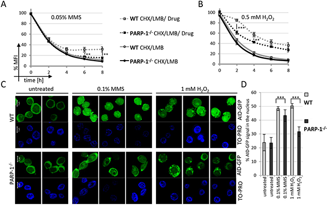 Nuclear AID stabilization is impaired in PARP-1 knockout cells.