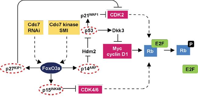 DNA origin activation checkpoint.