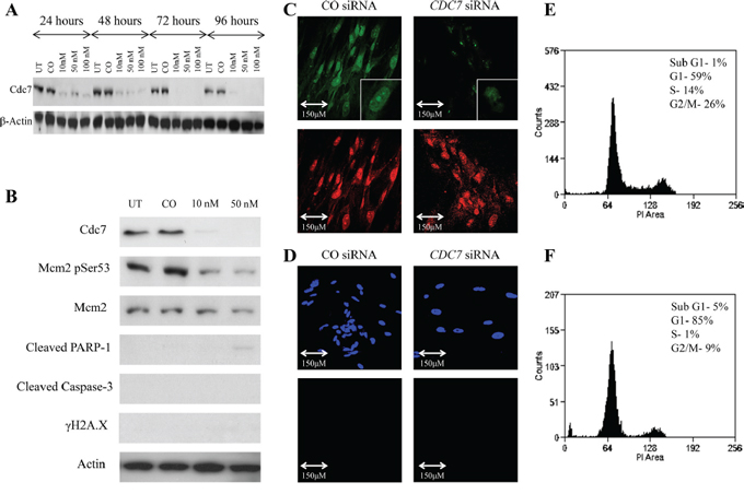 Knockdown of CDC7 mRNA in IMR90 fibroblast cells following transfection with custom siRNA.