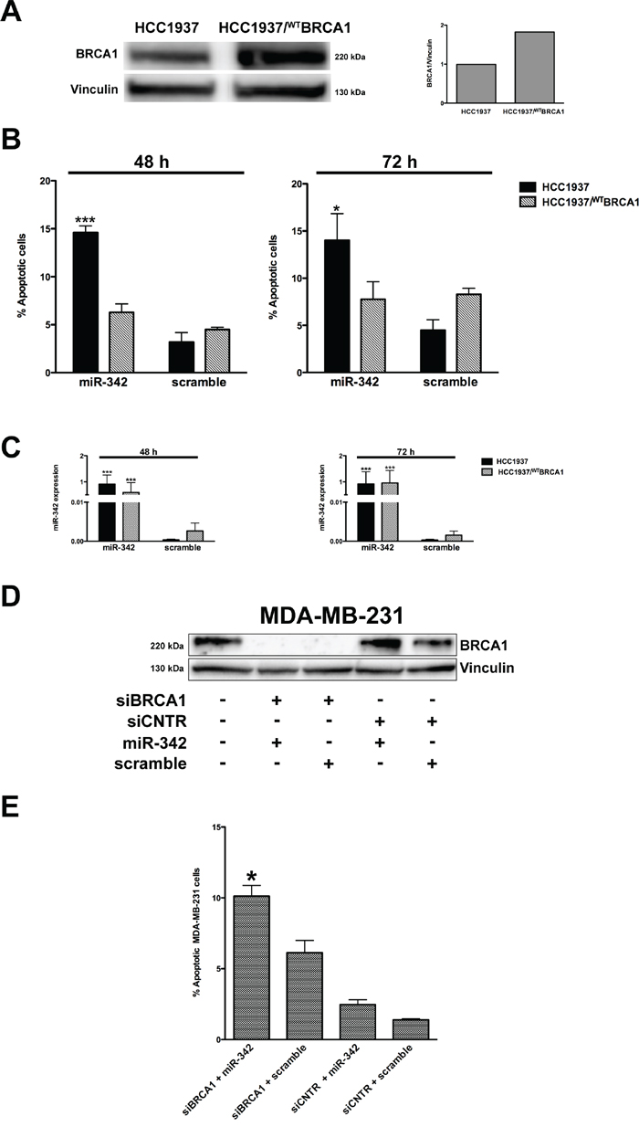 miR-342 induces apoptosis in a BRCA1-mutant context.