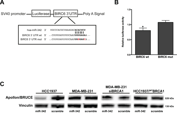 miR-342 targets BIRC6 and down-modulates Apollon/BRUCE protein in HCC1937 cells.