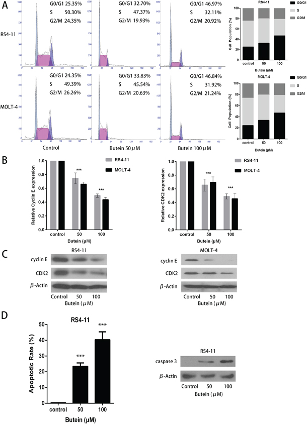 Butein induced cell cycle arrest and inhibited the activation of CDK2-Cyclin E complex in RS4-11 and MOLT-4 cells.