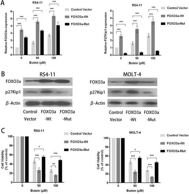 FOXO3a overexpression enhanced the anti-proliferation activity of butein in ALL cells treated with different concentrations of butein.