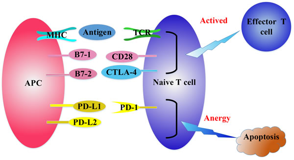 The regulation of T cell activation.
